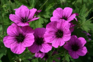 Geranium 'Bressingham fair'