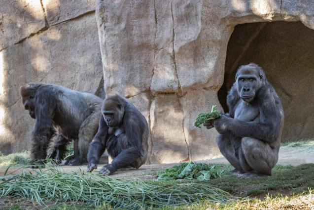 Gorillas sit after two of their troop tested positive for COVID-19