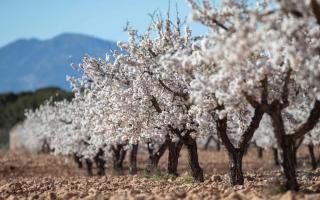 Beautiful almond blossoms on Majorca