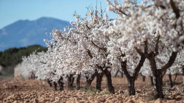Beautiful almond blossoms on Majorca