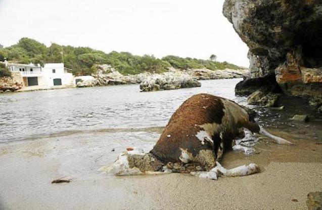 Dead cows dumped into the sea.