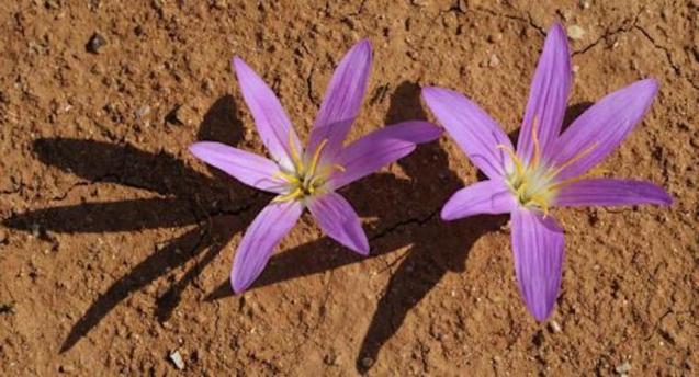Colchicum filiflolium, aka Wild Saffron.