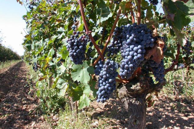 Grapes in Mallorca