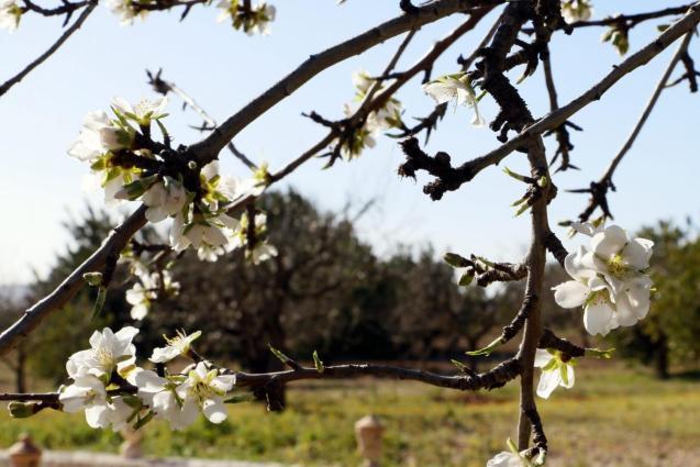 Almond tree blossom in Binissalem.