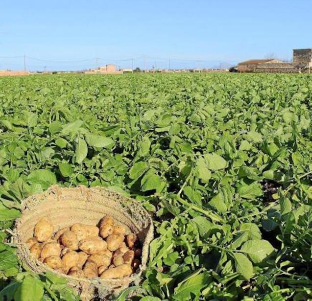 Mallorcan potatoes.