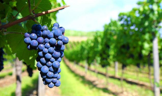 """Episode 5 of 10 Series 1 """"Sour Grapes"""" is set in several vineyards in Mallorca"""