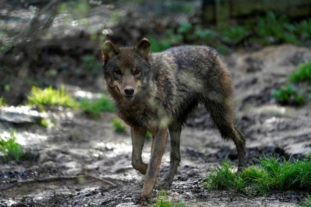 An Iberian wolf exercises at Basondo Animal Refuge