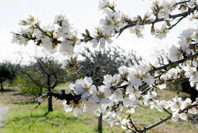Almond blossoms, Mallorca.