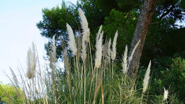 Pampas grass, an invasive species in the Balearics