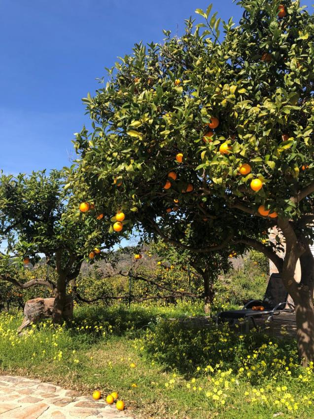 Soller oranges falling off the trees