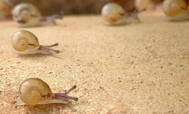 Bover snails on Manolo Galván's ecological snail farm in Son Ferriol, Mallorca.
