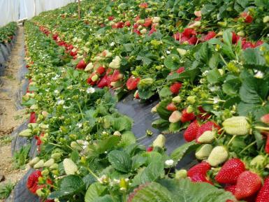 ecologic Strawberries