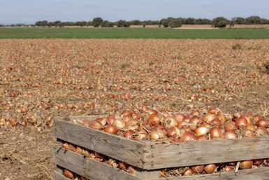 Onions seen at Sa Pobla.