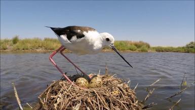 Nesting of a Black-winged stilt female in salt pans