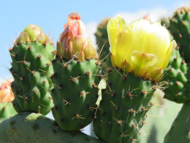 Prickly Pear in flower