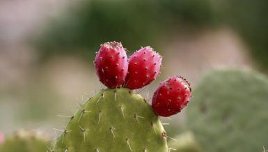 the Prickly Pear.