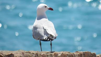 Adult Audouin's Gull