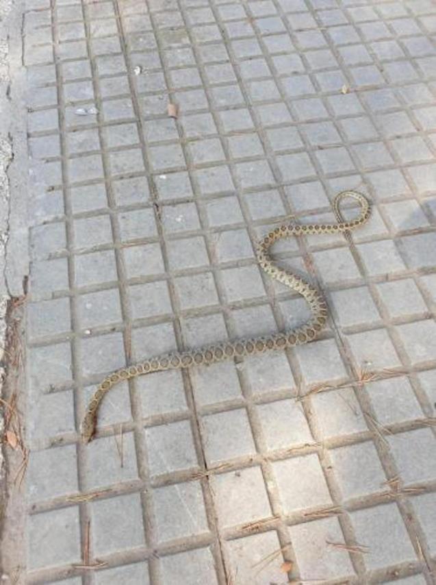 2nd Calvia snake.