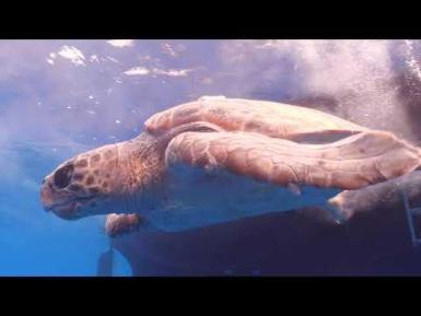 This is the story of Thunderbird, a loggerhead turtle that escaped from ghost fishing gear in the Mediterranean and, if our worst suspicions are confirmed, ended up being unintentionally caught by the industrial fishing fleet in Senegal. This video shows Thunderbird´s extraordinary journey, of more than 6,000 km over 7 months, discovering some of the main threats that sea turtles and other marine megafauna species face throughout their lives.