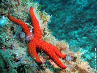 Mediterranean red star (Echinaster sepositus).