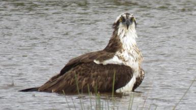 Osprey in the rain.