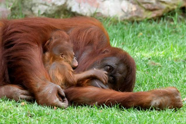An eleven-day-old baby male Bornean orangutan is held by his mother Suli