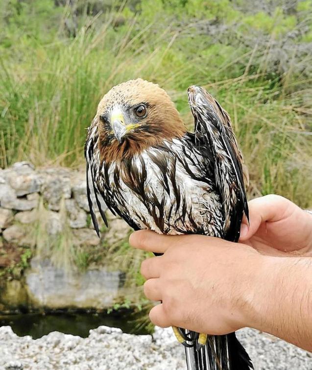 A hawk rescued from Font de sa Rota, between ses Figueroles & Coll de sa Bataia in Mallora.