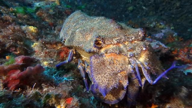 The Mediterranean slipper lobster is endangered and is protected by law.