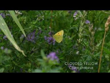 A short film on the Clouded Yellow butterfly  Music credits: bensound.com