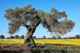 More than 200 confirmed cases of olive ebola in the Balearics