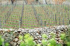 Xylella bacterium is now infecting vineyards