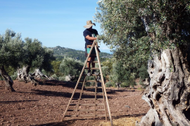 Record olive harvest expected