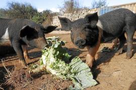 Suckling pig shortage this Christmas