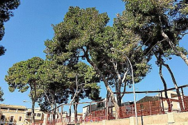 Arta pines to be felled because of caterpillar disease