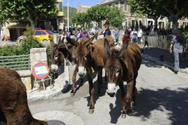 Esporles welcomes its worker donkeys
