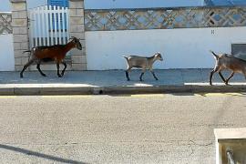 "Goats ""invading"" Cala San Vicente"