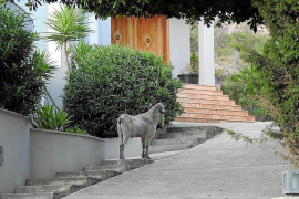 Andratx residents wanting action against goat invasion