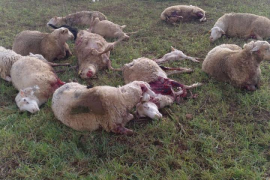Repeated dog attacks on sheep in Inca