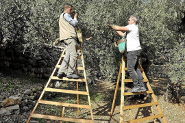 Massive fall in olive production