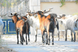Doubts cast on wild goat meat proposal