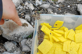 Fifty midwife toads released into the wild