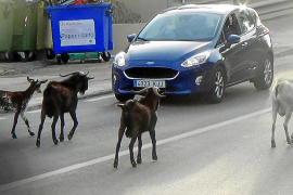 Andratx suffering new invasion of goats