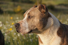 One of two stolen pit bulls is released