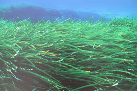 How to save posidonia meadows