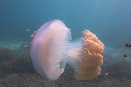 Giant jellyfish spotted in Santa Ponsa