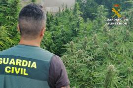 Marijuana plantations dismantled in Consell and Sineu