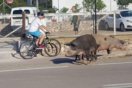 Pigs stop traffic in Puerto Andratx