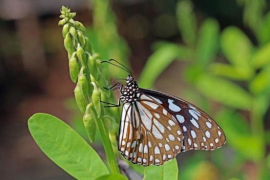 First sighting of asian butterfly in Majorca
