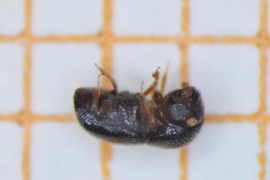 First discovery in Majorca of black twig borer beetle