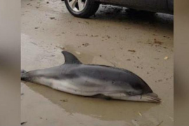 Dolphin stranded by the storm
